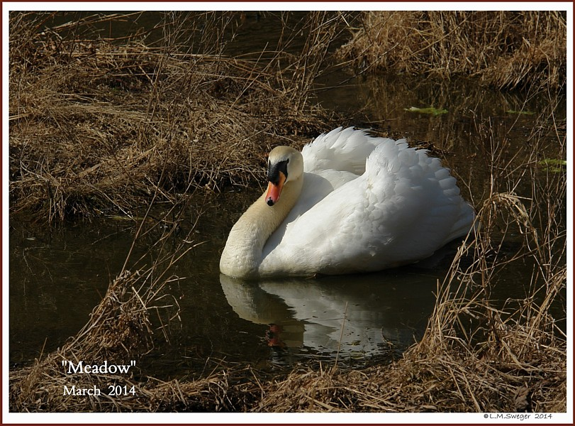 Mute Swan Snapping Turtle