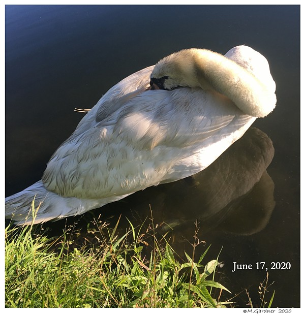 Snapping Turtles Bite Swans