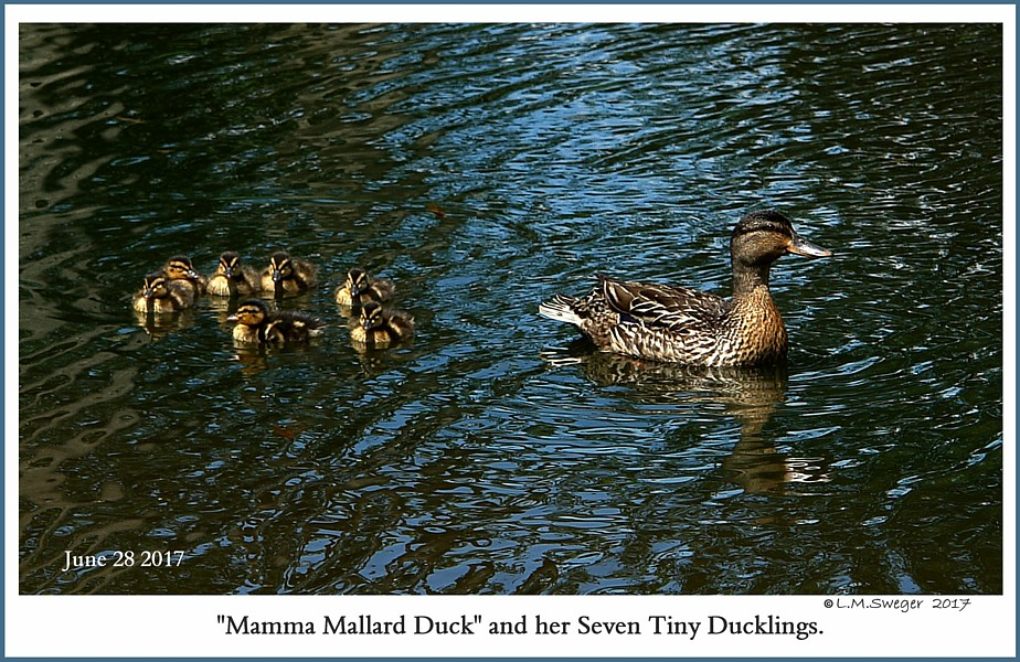 Mallard Duck Ducklings
