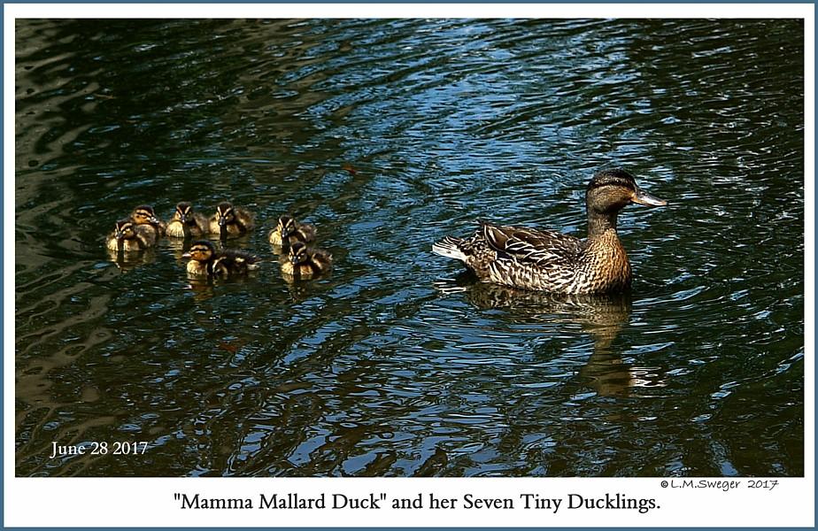 Mallard Duck Ducklings