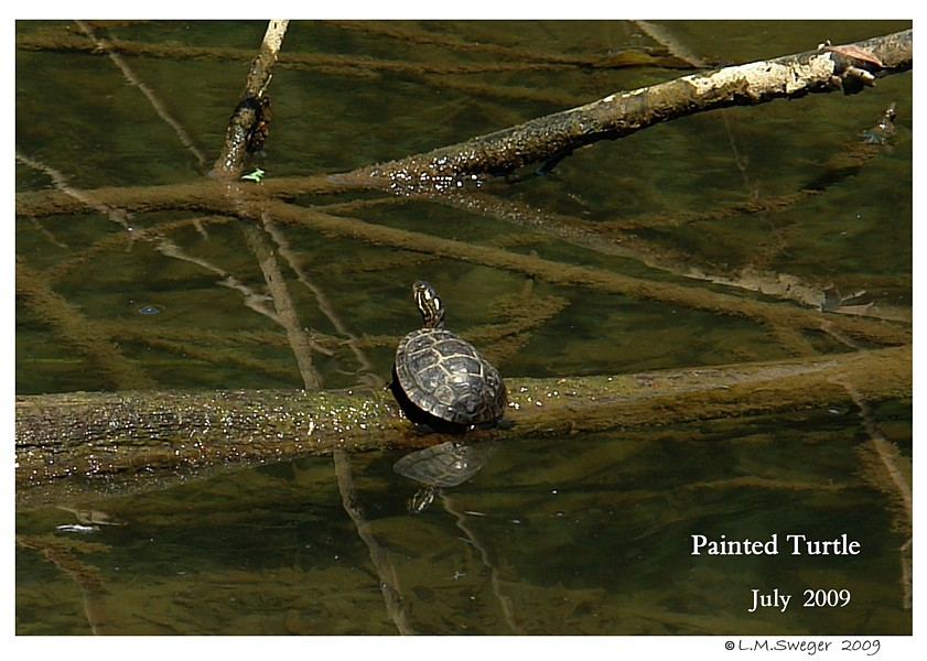 PA Painted Turtle