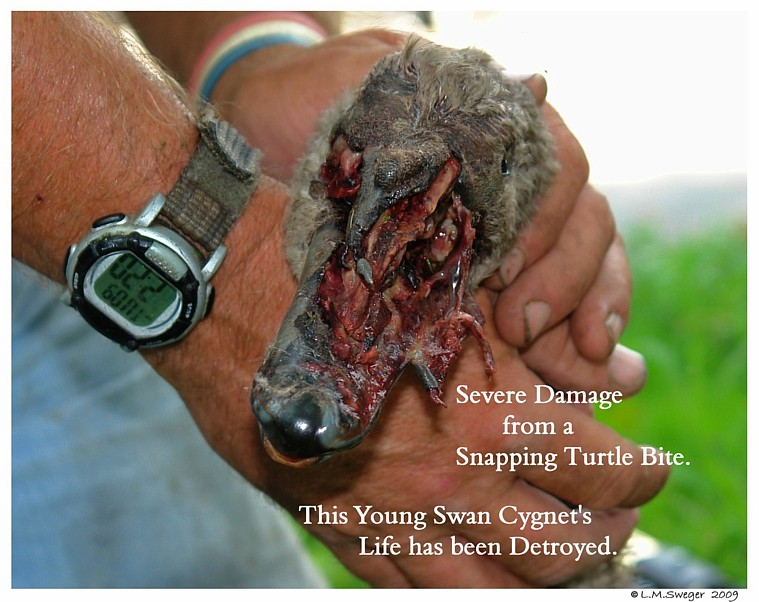 The Snapping Turtle – Tips for the Practitioner | LafeberVet |Snapping Turtle Injuries Humans