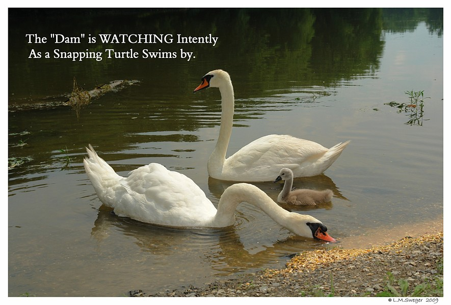 Swans Snapping Turtles