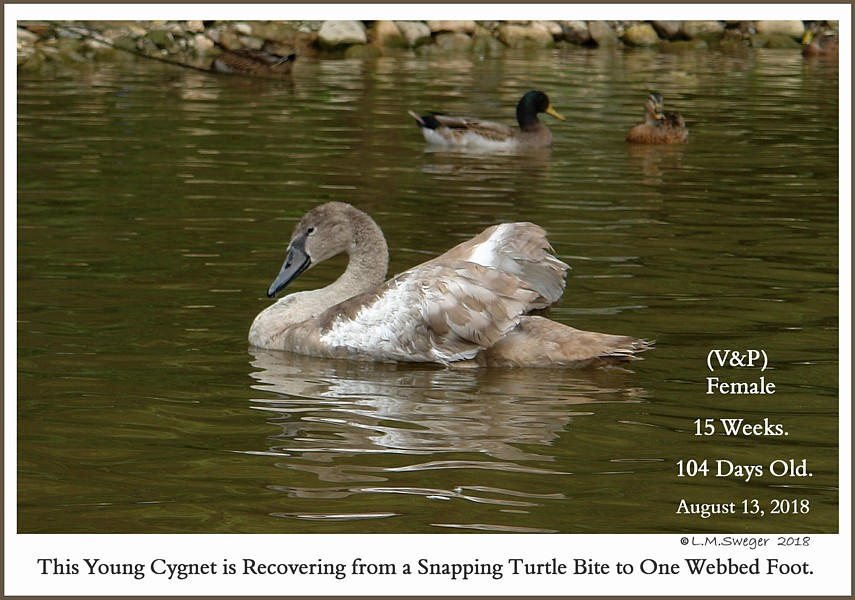 Mute Swan Cygnet Snapping Turtle