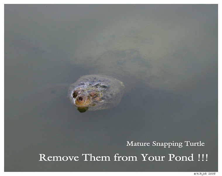 Snapping Turtle Swan