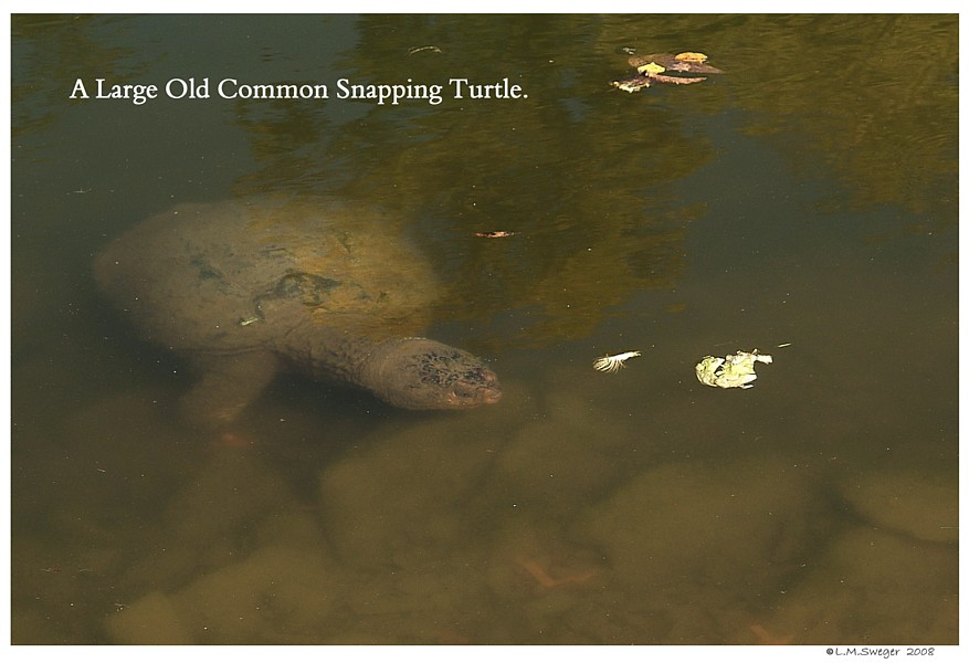 Old Snapping Turtle