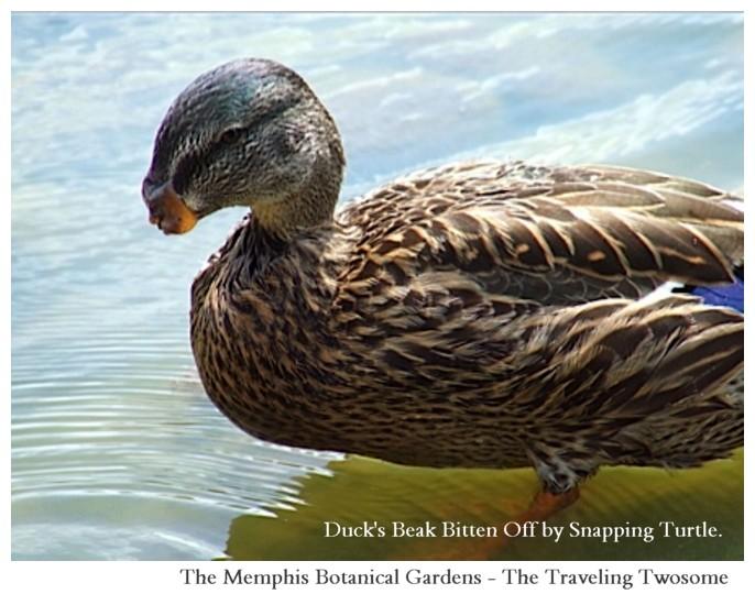 DUCK Mallard Beak Snapping Turtle