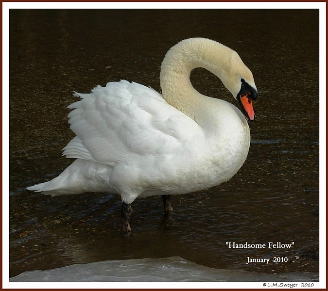Rescued Mute Swan