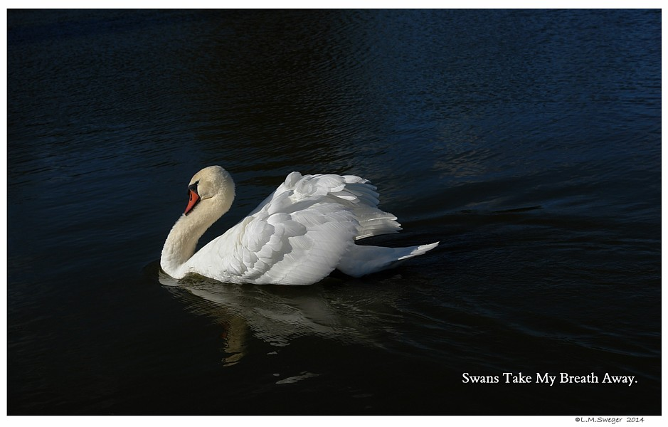 Mute Swans Who We Are Mute Swans