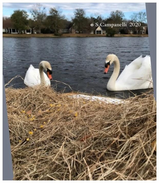 Swan Nesting Platform