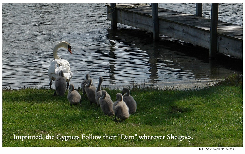 Catching Swan Cygnets