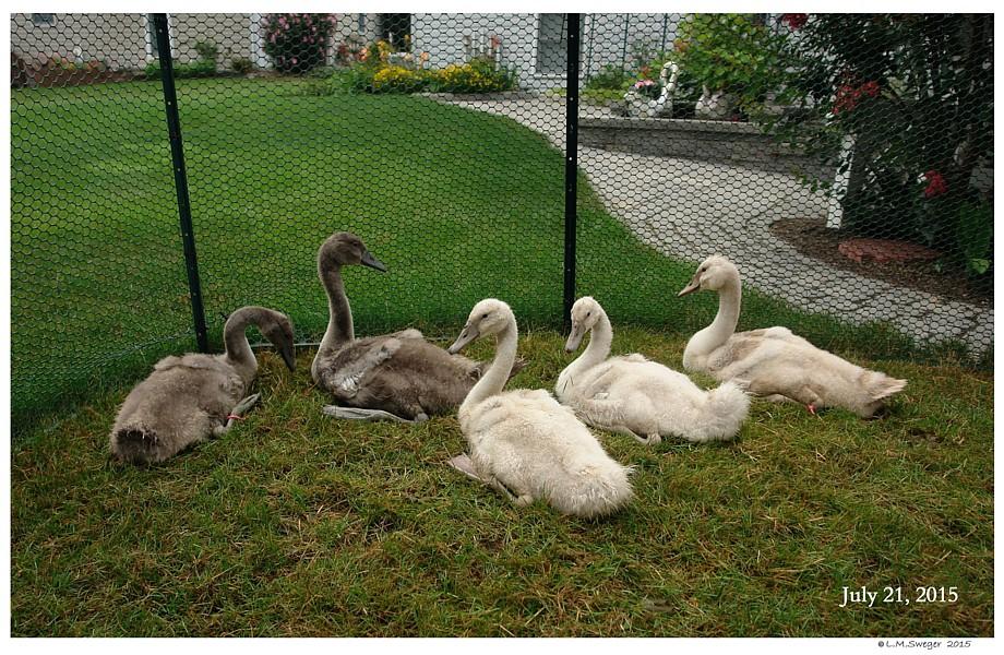 Catching Swan Cygnets