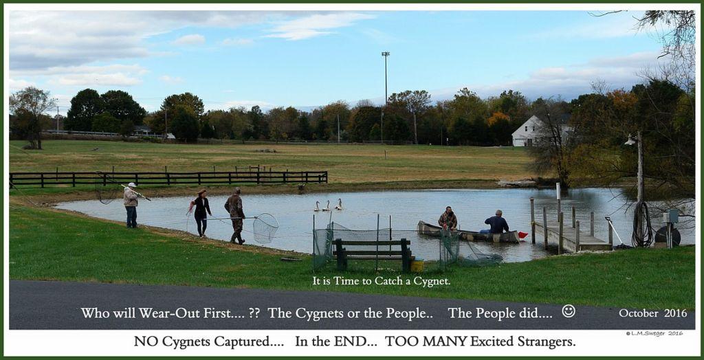 Catching Swan Cygnet