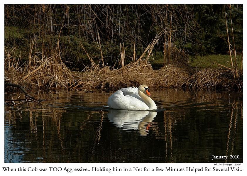 Aggressive Mute Swan Cob
