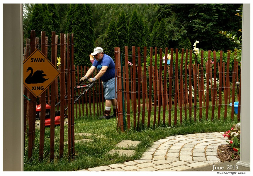 Bringing Swan Home Swan Enclosure Fencing Chaperon Fence
