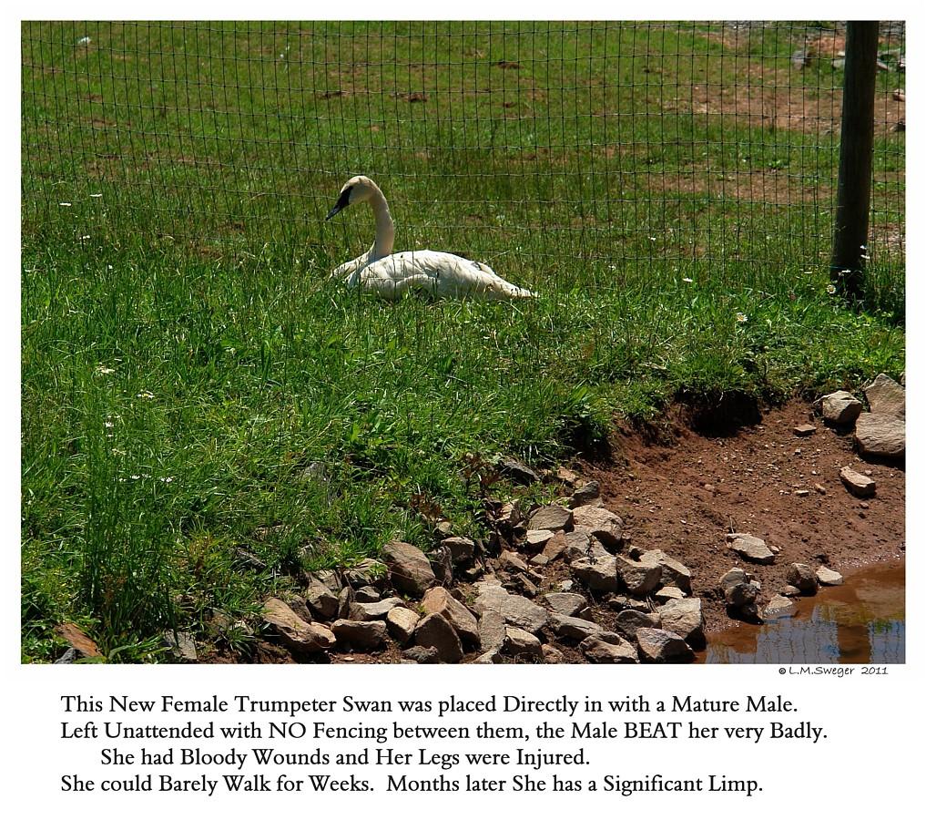 Bringing Swan Home Chaperon Fence
