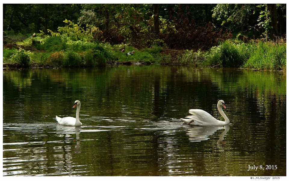 Bringing Swan Home
