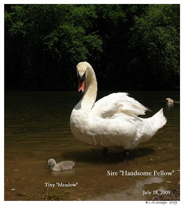 Mute Swans are Wonderful Parents