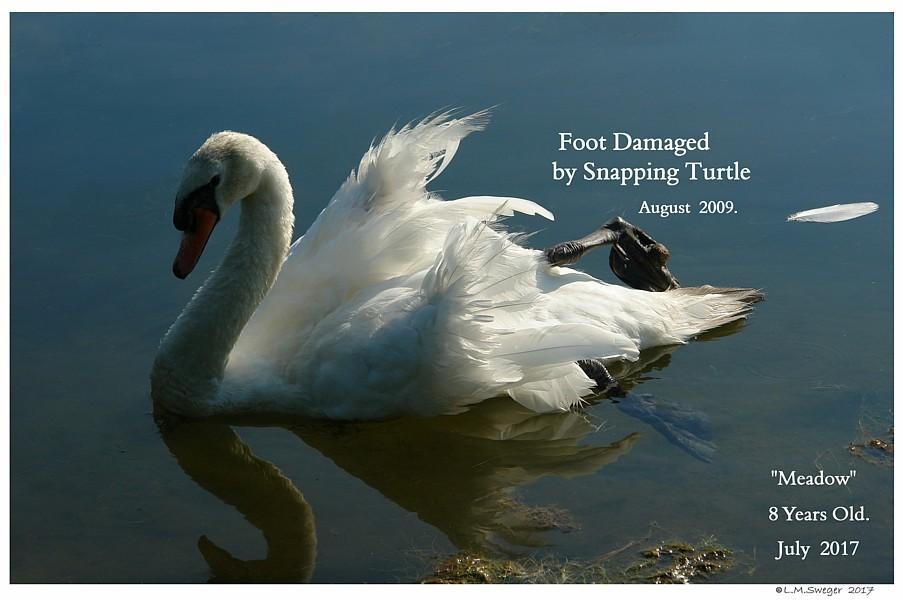 Common Swan Injuries