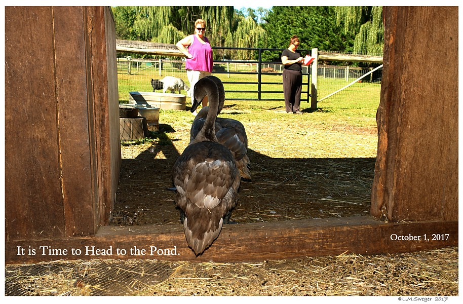 Bringing Swan Home Barn Stall for Swan Adjustment Time