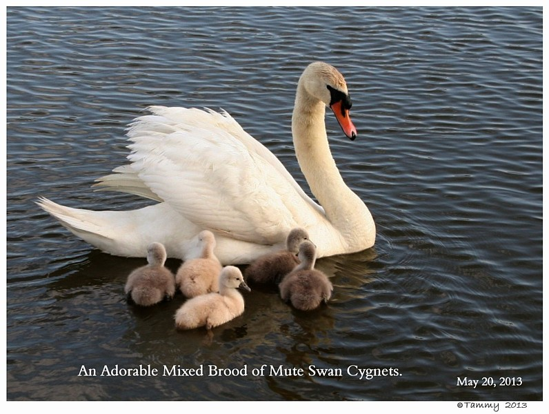 Royal vs Polish Mute Swan Cygnets