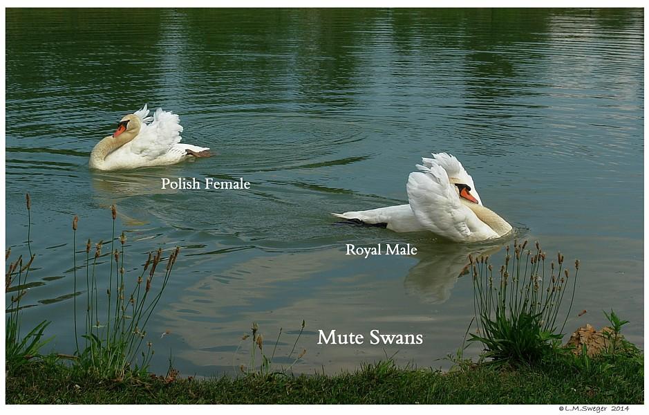 Royal vs Polish Mute Swans