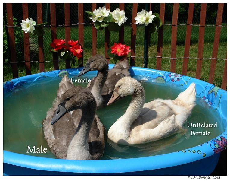 Royal vs Polish Mute Swan Cygnets