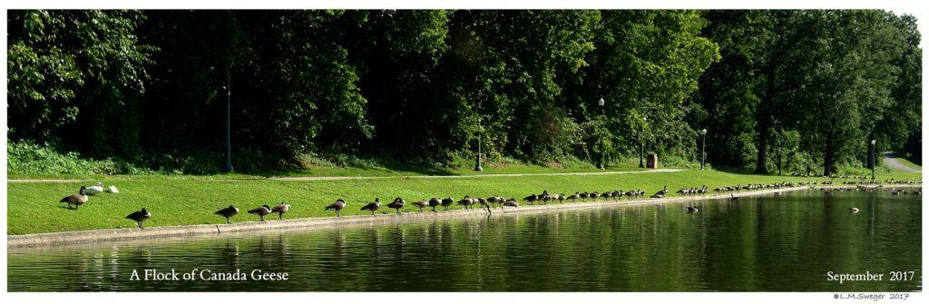 Black Australian Swan Canada Geese