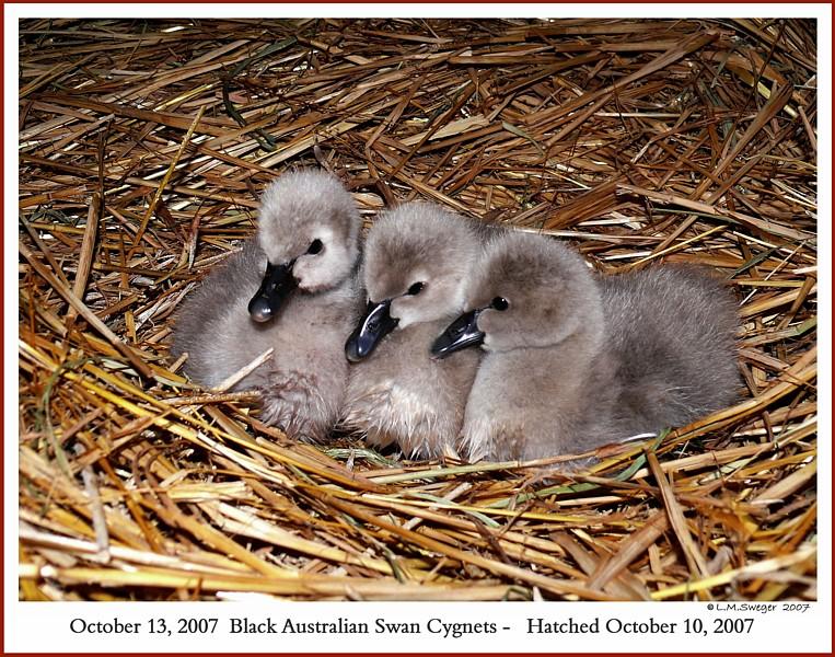 Black Australian Swans