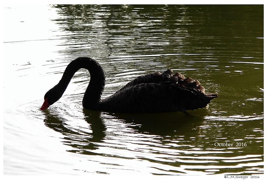 Black Australian Swan