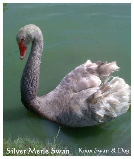 Silver Merle Australian Swans