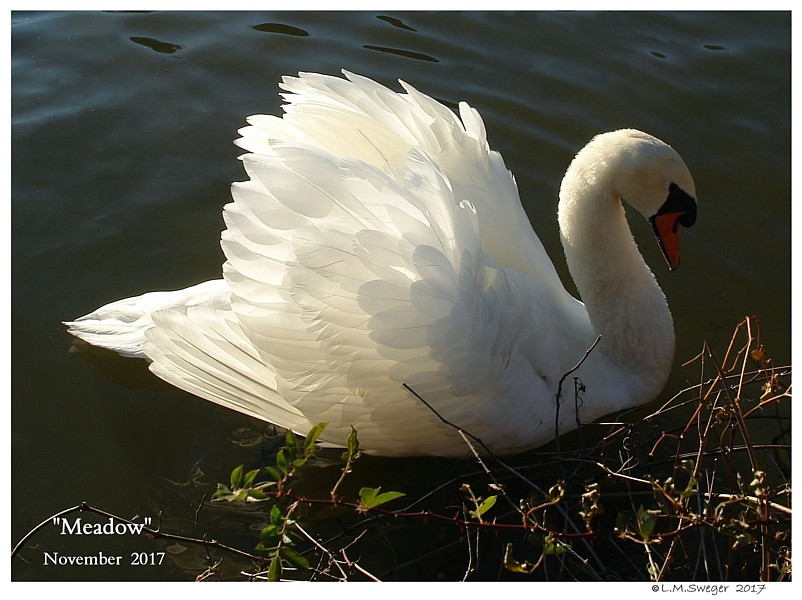 Swan Cygnet Preen