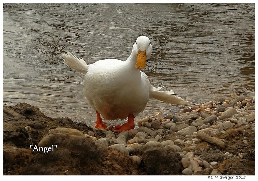 Duck Angel Wing Deformity