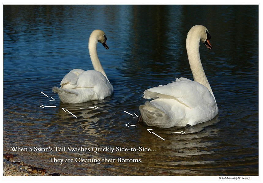 Common Mute Swan Behavior   Wagging their Tail