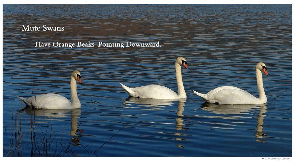 Common Mute Swan Behavior