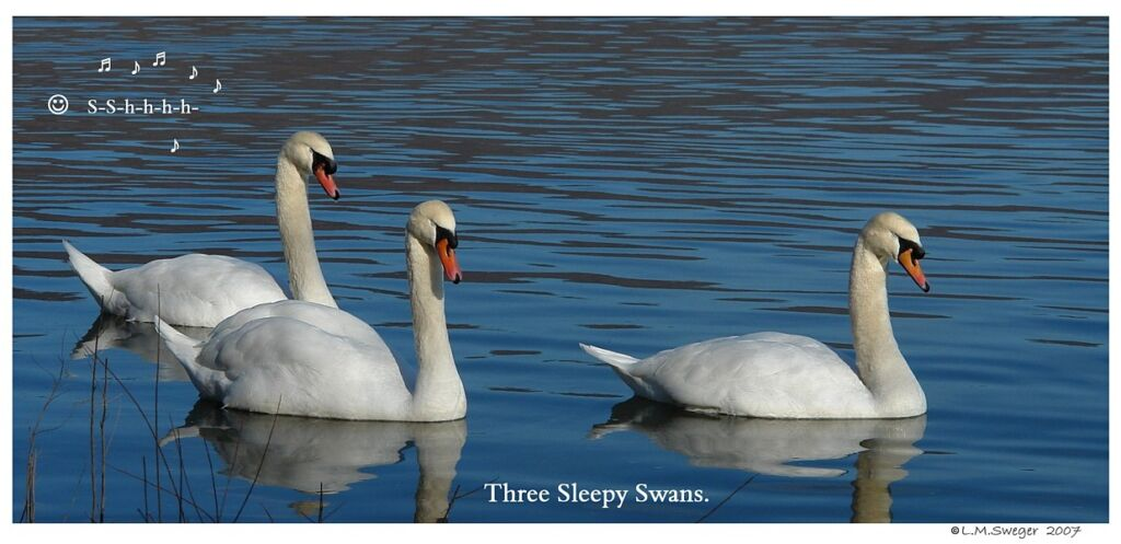 Common Mute Swan Behavior