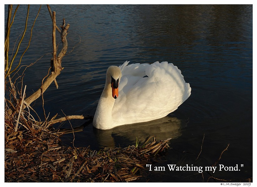 Common Mute Swan Behavior  Cob