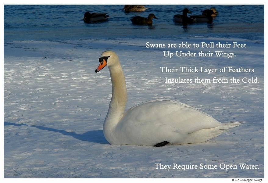 Common Mute Swan Behavior  Winter  Snow  Ice