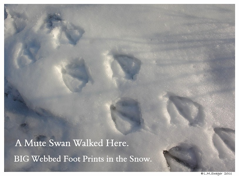 Common Mute Swan Behavior  Walking