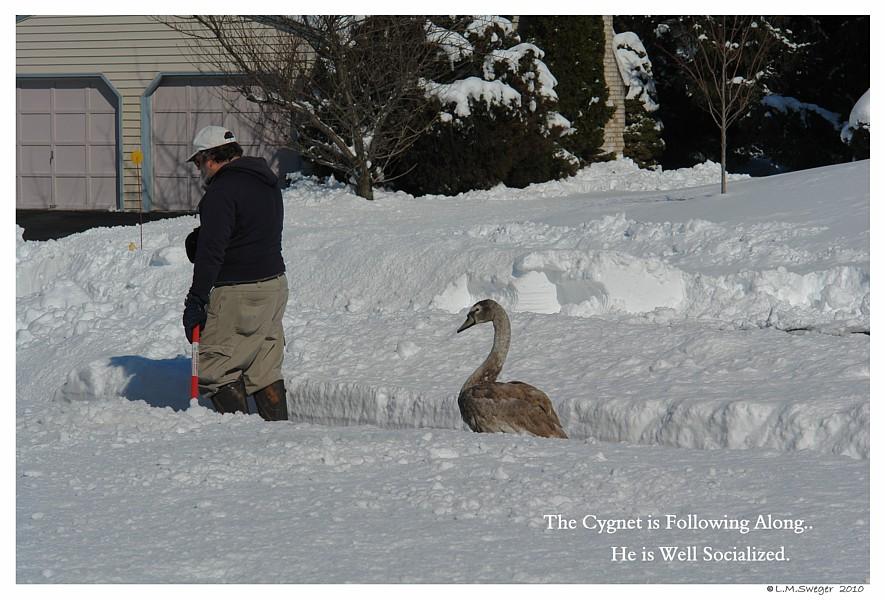 Common Mute Swan Behavior  Winter  Snow  Ice   Walking