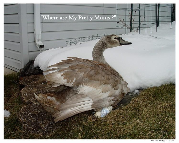 Common Mute Swan Behavior   Swans have Good Memory
