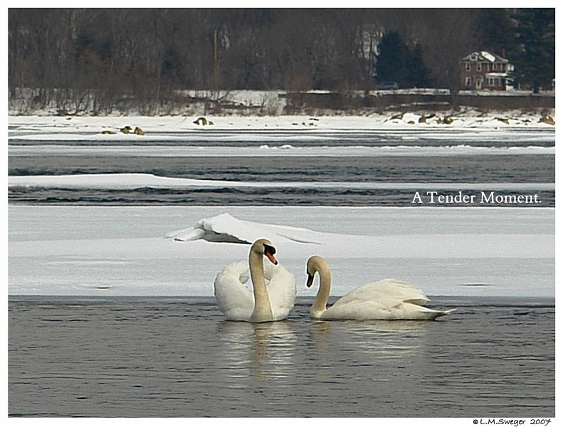 Common Mute Swan Behavior   Affectionate Greeting
