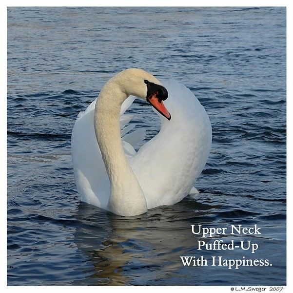 Common Mute Swan Behavior   Upper Neck Swollen with Happy Emotion