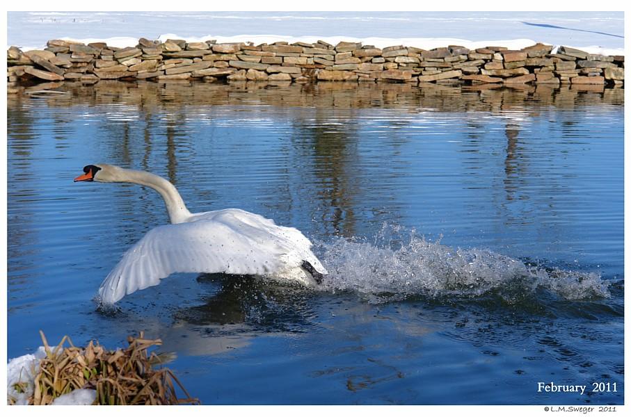 Common Mute Swan Behavior  Cob  Splash Bath