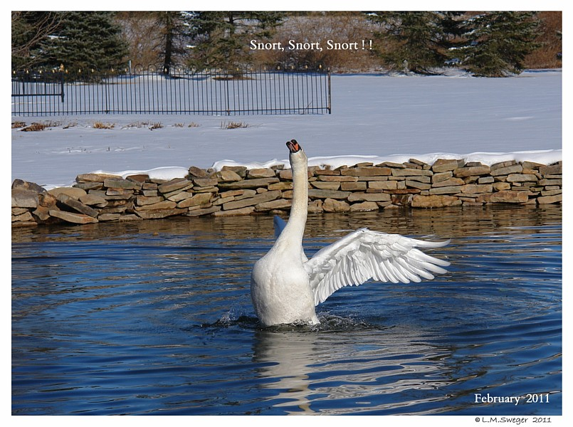 Common Mute Swan Behavior  Cob  Splash Bath