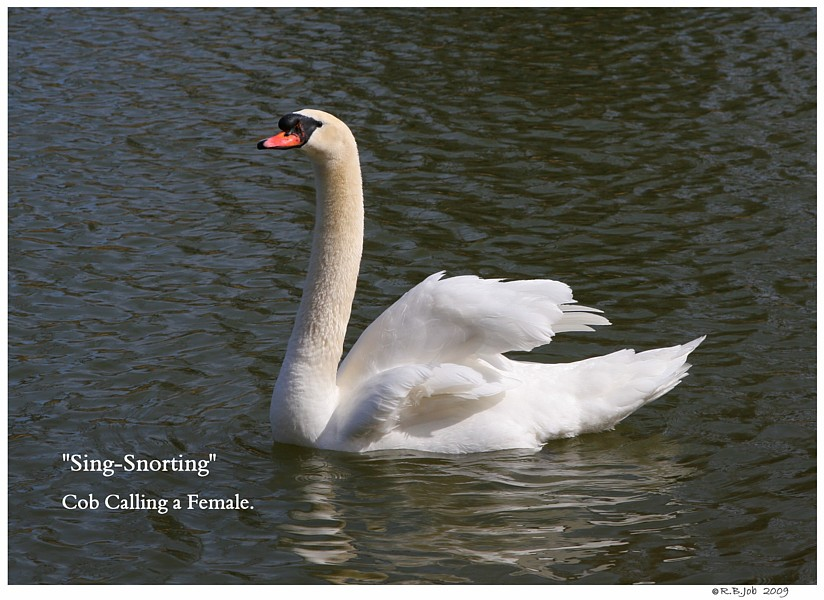 Common Mute Swan Behavior   Cob Singing for a Female