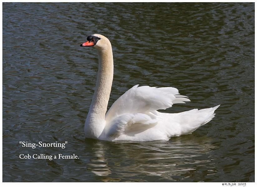 Common Mute Swan Behavior   Cob Singing for a Female