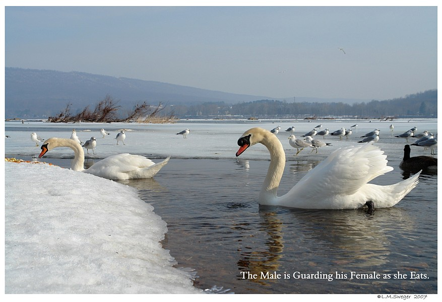 Common Mute Swan Behavior  Cob Protecting Female