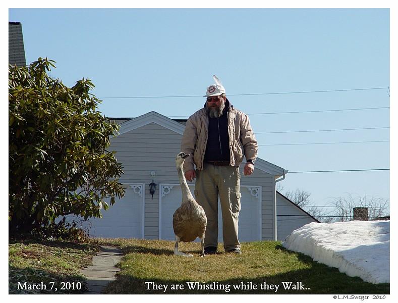 Common Mute Swan Behavior   Whistling Walking