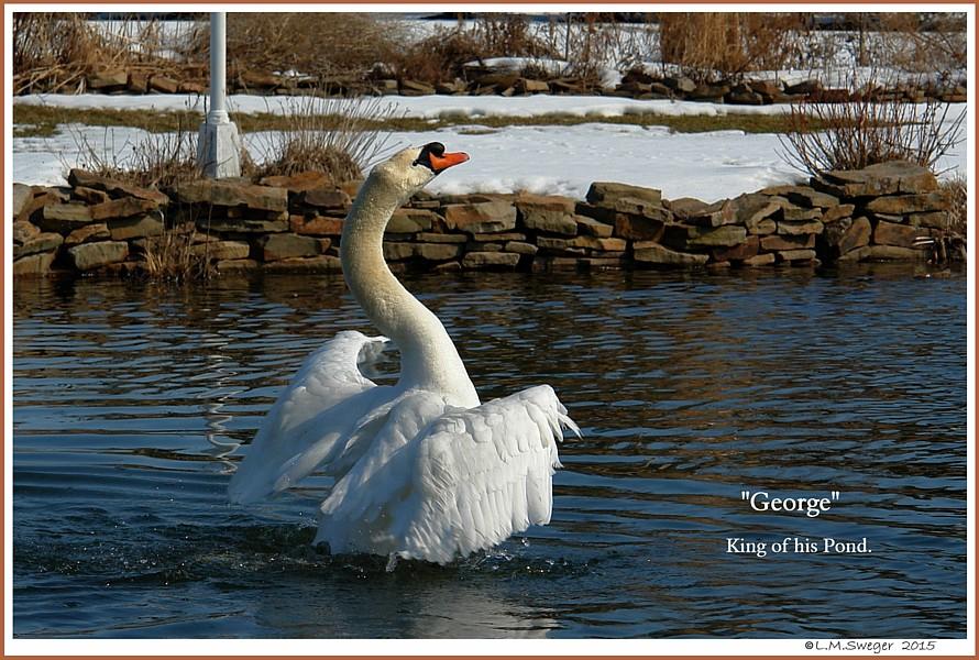 Common Mute Swan Behavior  Cob  Splash Bath  Preening
